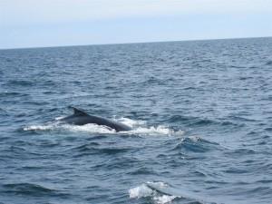 Cape Cod bálnales